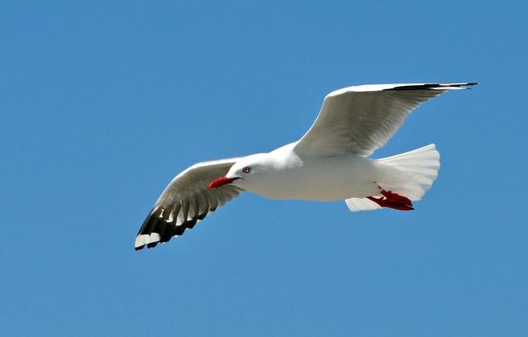 Picture the sky, flight, bird, wings, Seagull, stroke