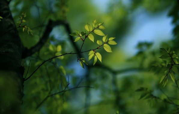 Picture greens, leaves, trees, branches, tree, branch, foliage, leaf, focus, blur, branch, leaves, leaf, widescreen Wallpaper, …