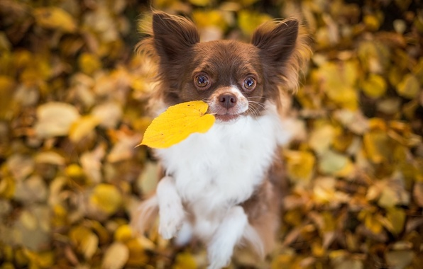 Picture leaves, mood, dog, leaf, Chihuahua, bokeh, doggie