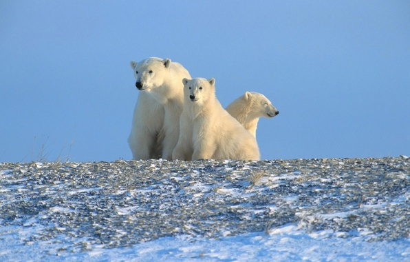 Picture polar bears, Arctic, North
