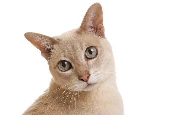Picture cat, white, cat, background, cat