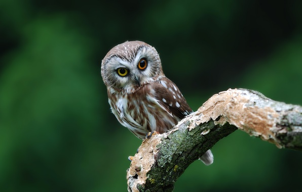 Picture owl, bird, branch, eyed, owl