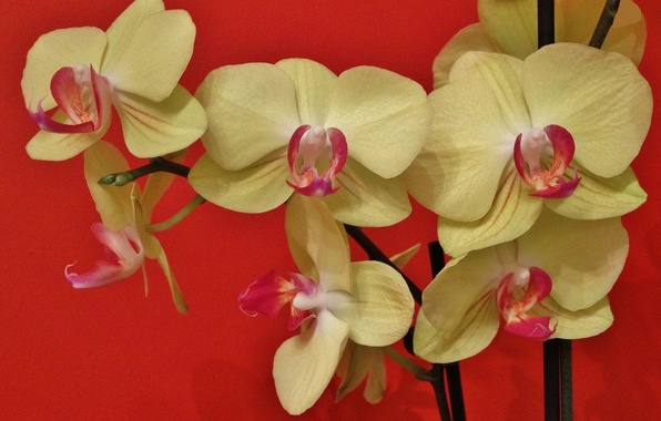 Picture exotic, Orchid, Phalaenopsis