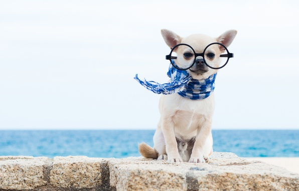 Picture dog, scarf, glasses, Chihuahua, doggie, dog