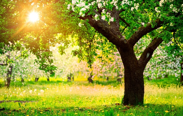 Picture the sun, trees, nature, spring, garden, dandelions, Apple