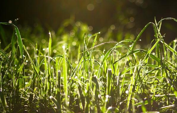 Picture grass, drops, Rosa, glare