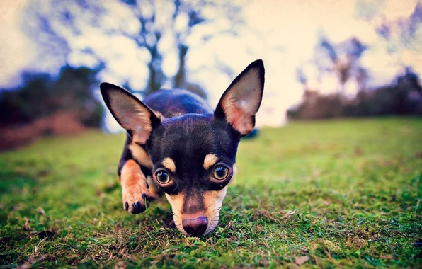 Picture look, ears, dog