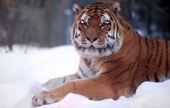 Picture winter, snow, nature, Tiger