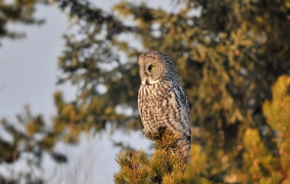 Picture tree, owl, bird, needles, pine, tail, the tip