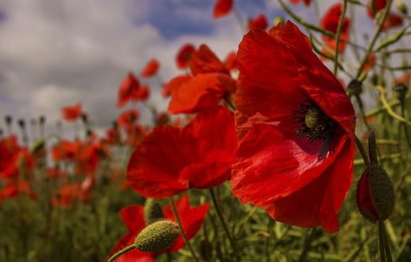 Picture the sky, grass, nature, Maki, petals