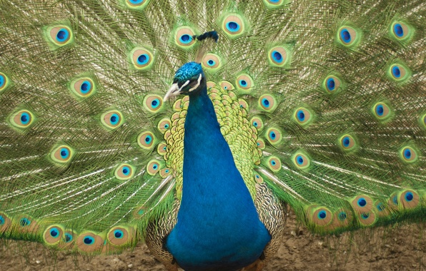 Picture animals, birds, blue, bright, green, pen, feathers, peacock