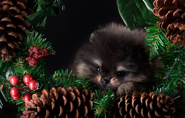 Picture new year, cute, puppy, bumps, decor, Spitz