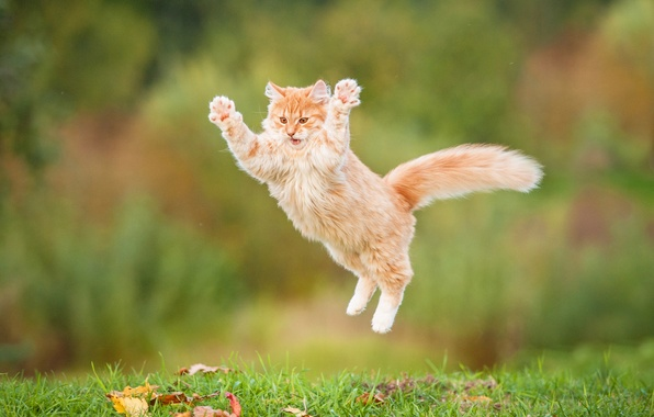 Picture cat, jump, fluffy, red, red cat