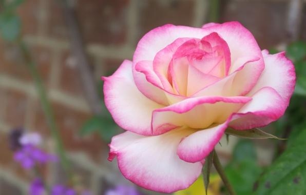 Picture macro, rose, petals, Bud, bokeh