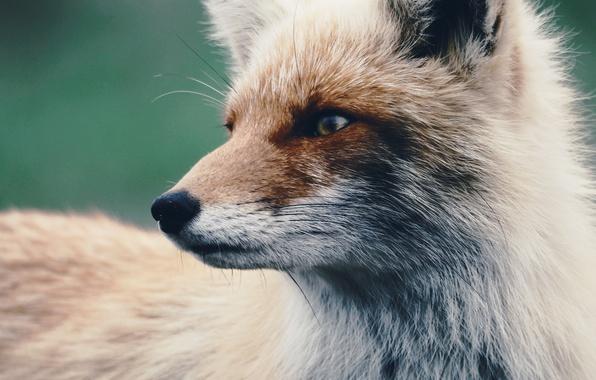 Picture look, wool, Fox, Fox
