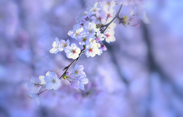 Picture macro, flowers, nature, sprig, background, tree, lilac, Spring, white, flowering