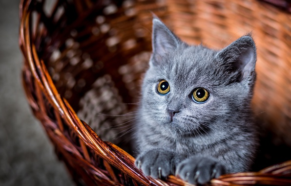 Picture eyes, cat, look, kitty, basket, cat, looks, Kote