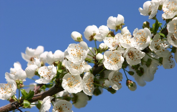 Picture flowers, cherry, beauty, branch, spring, petals, Sakura, gentle, white, white, buds, flowering, flowers, leaves, Spring, …