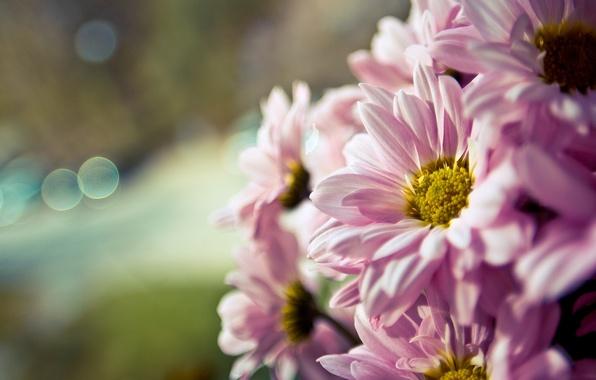 Picture flower, macro, flowers, background, pink, widescreen, Wallpaper, blur, wallpaper, flower, widescreen, flowers, background, macro, bokeh, …