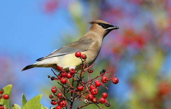 Picture the sky, berries, bird, the Waxwing