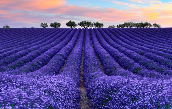 Picture field, the sky, clouds, flowers, tree, France, lavender, Provence