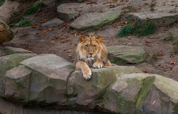 Picture face, stay, predator, Leo, mane, lies, wild cat, zoo