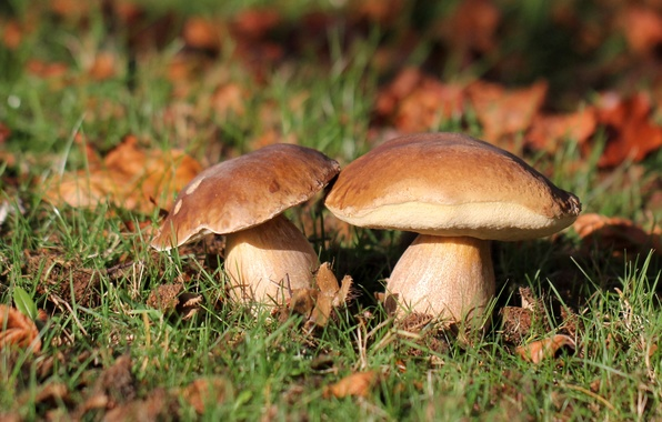 Picture autumn, forest, grass, nature, mushrooms, White mushroom