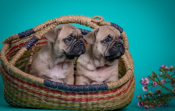 Picture flowers, puppies, Duo, French bulldog
