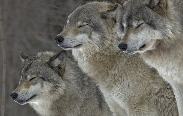 Picture animals, nature, wolves, fur