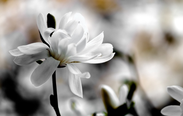 Picture white, flower, macro, flowers, background, spring, blur, Magnolia
