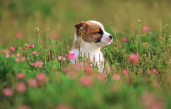 Picture grass, flowers, dog, puppy, grass, puppy, dog, 1920x1200, flowers