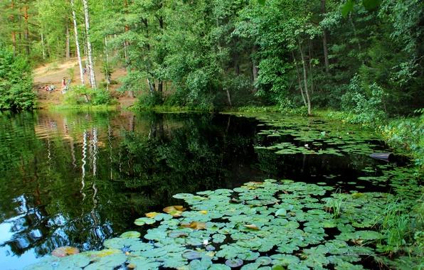 Picture nature, lake, photo, Saint Petersburg, Russia, water lilies, Komarovo, Squad