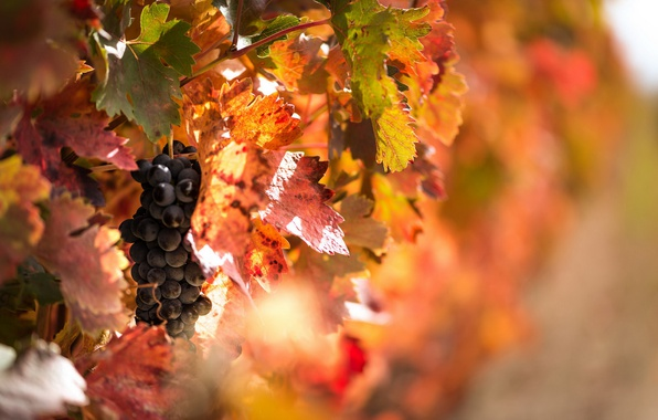 Picture macro, nature, grapes
