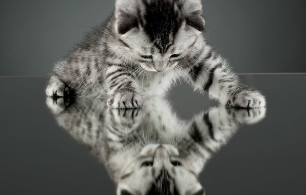 Picture cat, cat, reflection, kitty, background, Wallpaper, mirror, wallpaper, widescreen, cat, background, full screen, HD wallpapers, …