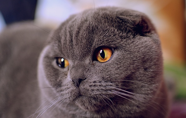 Picture cat, eyes, look, face