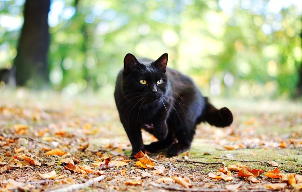 Picture autumn, cat, cat, leaves, black