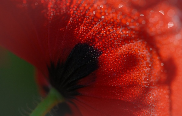 Picture flower, drops, macro, Rosa, Mac