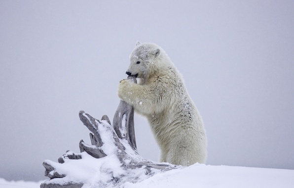 wallpaper winter snow bear alaska bear snag cub. Black Bedroom Furniture Sets. Home Design Ideas
