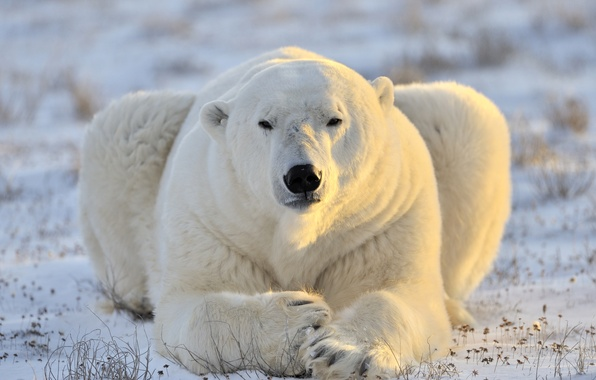 Picture face, predator, polar bear, polar