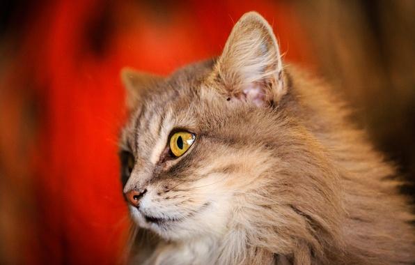 Picture cat, cat, look, Koshak, fluffy