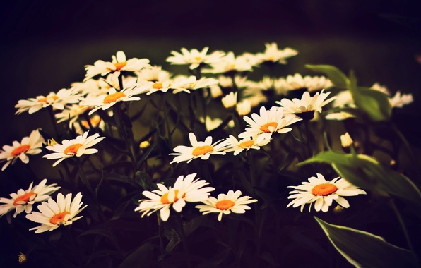 Picture white, leaves, flowers, yellow, background, widescreen, Wallpaper, chamomile, Daisy, wallpaper, flowers, widescreen, background, full screen, …