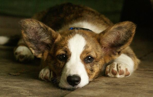 Picture face, background, dog, ears, Welsh Corgi, Welsh Corgi