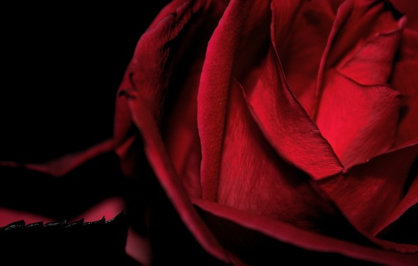 Picture flower, macro, rose, black background, red, the Queen of flowers