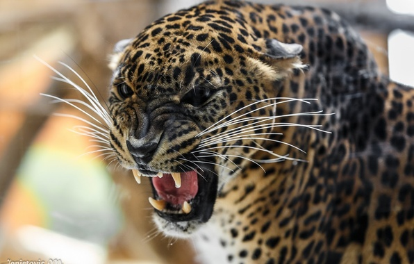 Picture face, anger, predator, rage, mouth, leopard, fangs, grin, aggression, wild cat, roar, the threat, angry