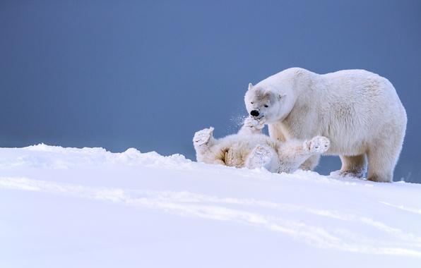 Picture winter, snow, the game, bears, Alaska, bear, cub, polar bears, bear, fun