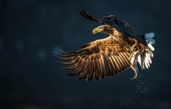 Picture squirt, bird, fish, eagle, mining, catch