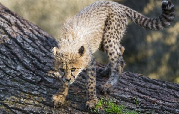 Picture pose, the game, predator, baby, Cheetah, cub, kitty, wild cat