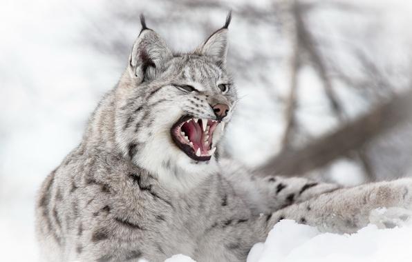 Picture winter, snow, predator, mouth, grin, lynx, Eurasian