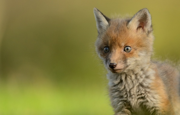 Picture look, baby, muzzle, Fox, cub, Fox