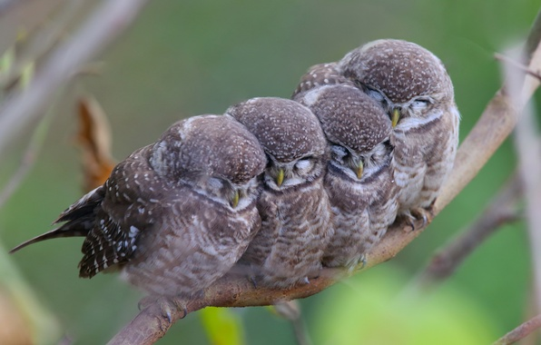 Picture birds, branch, owls, mom, family, kids, spotted owl